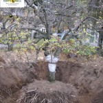 Grossbaumverpflanzung