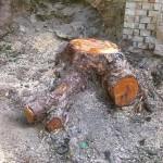 Wurzelstock 70cm, Wurzelstockfräsen